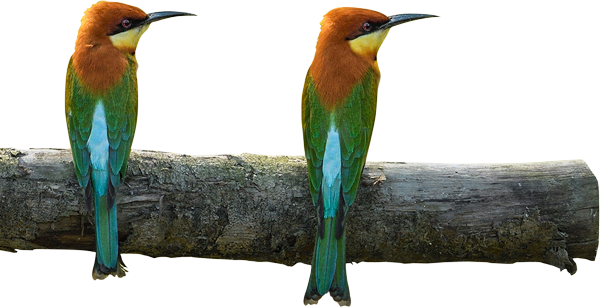 Chestnut headed bee-eater homepage image