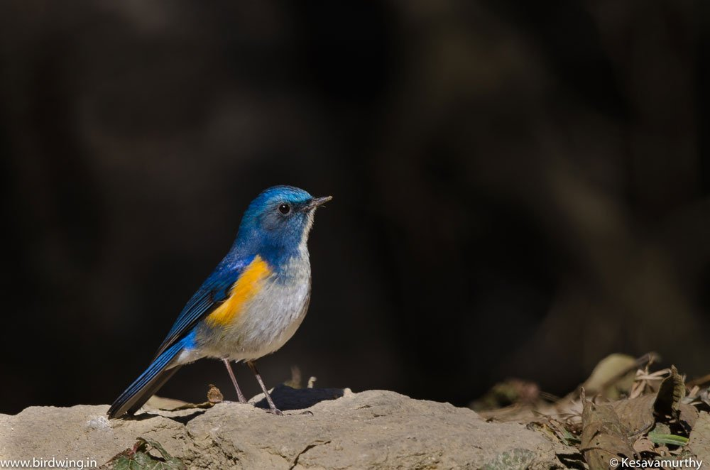 Himalayan-Blue-tail