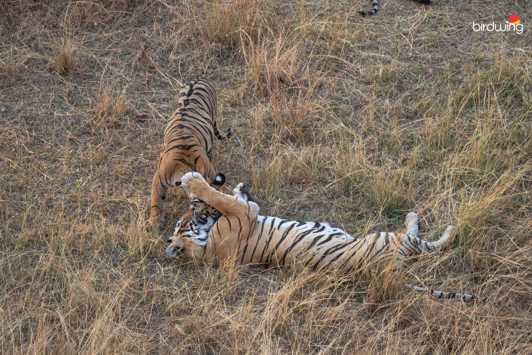 Krishna and her cub playing