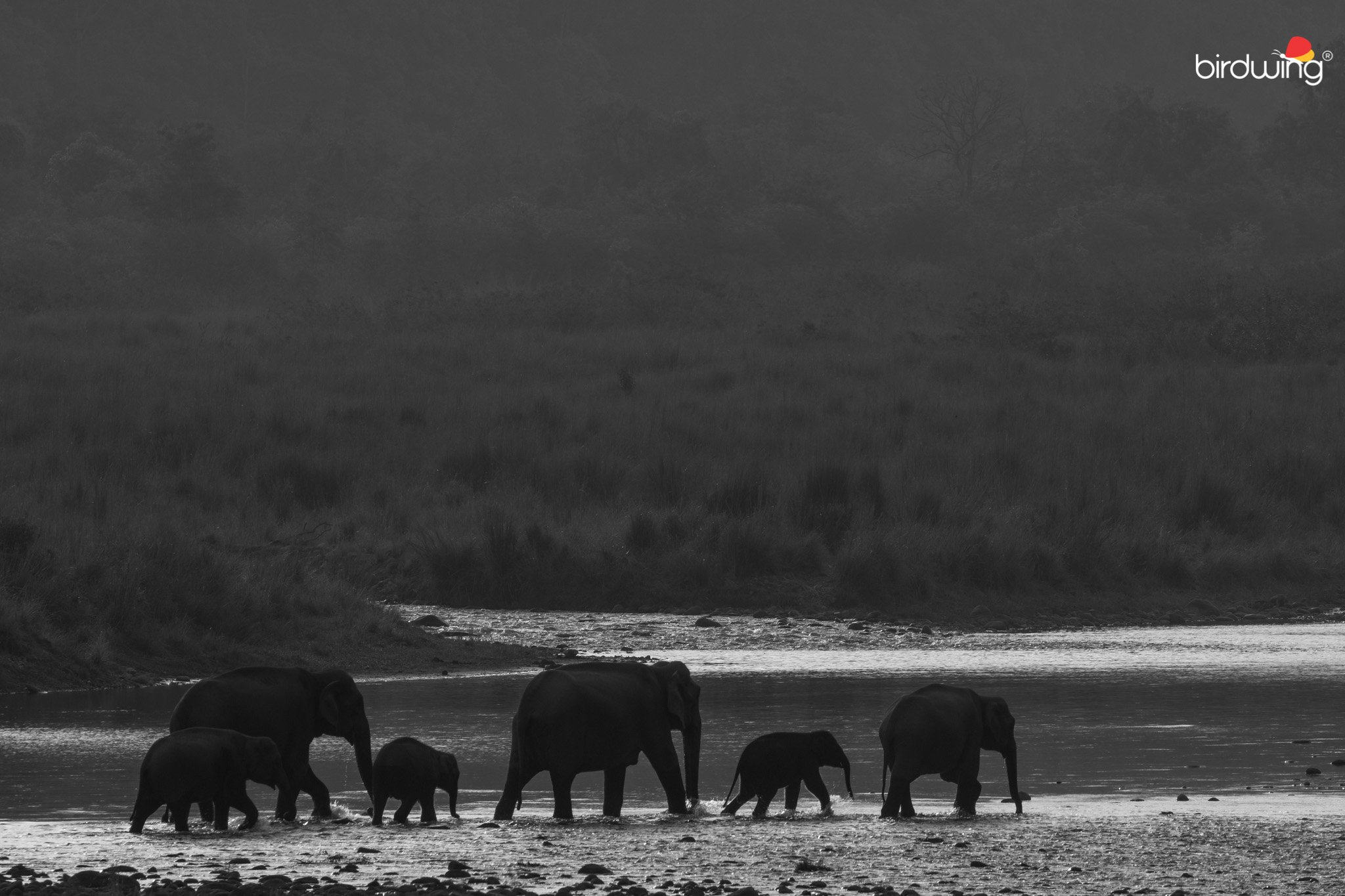 Group of elephants crossing ramganga