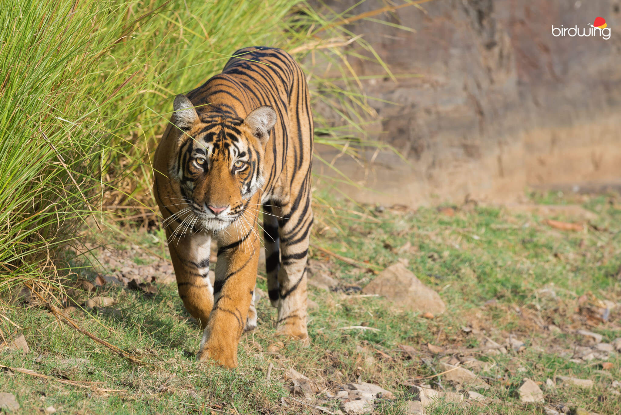 ranthambore tiger walking headon
