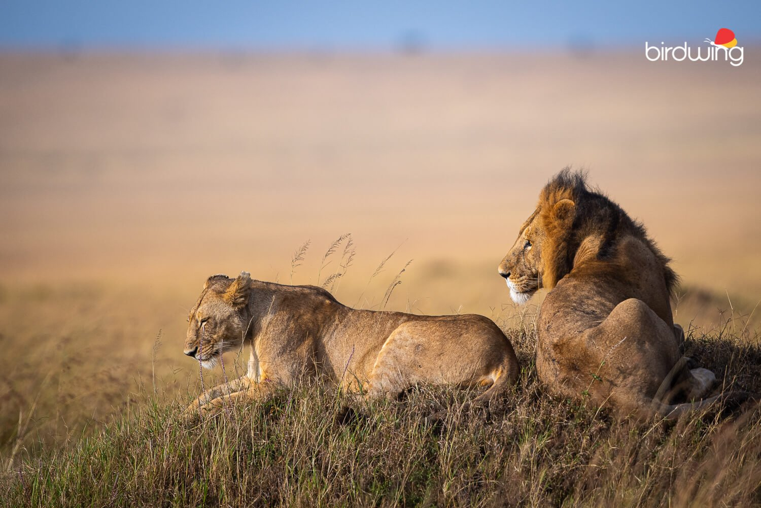 Mating Lions on a mound in Mara grasslands