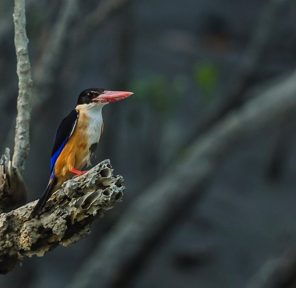 Black-capped-kingfisher-Sundarbans-Anoop-King