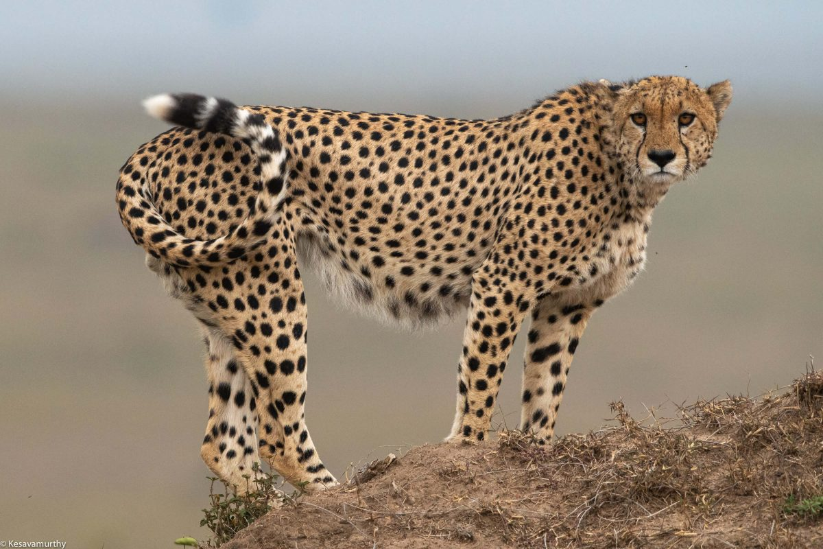 Cheetah on a mound - Tailored Vacations